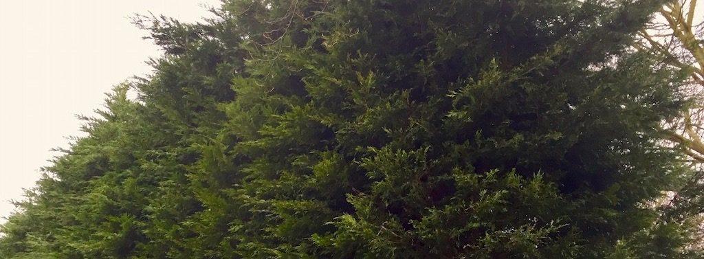 Overlast hoge bomen van de buren